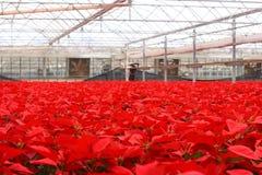 000 10朵花一品红红色 免版税库存照片