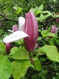 000000 το magnolia λουλουδιών Στοκ Φωτογραφία