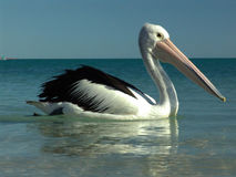 0002 pelican Stock Images