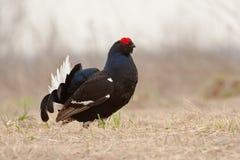 001只黑色饲养松鸡全身羽毛 库存图片