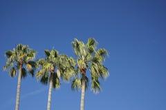 001棕榈树 免版税库存照片
