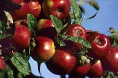 001 röda äpplen Fotografering för Bildbyråer