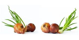 0014 κρεμμύδια Στοκ Εικόνες
