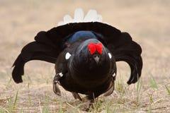 002只黑色饲养松鸡全身羽毛 库存图片