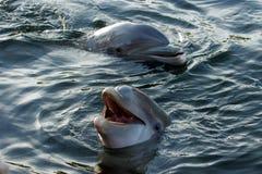002 delfiner Arkivfoton