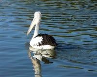 002 pelikan Zdjęcia Royalty Free
