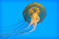 003 jellyfish Στοκ Φωτογραφία