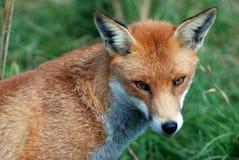 0042只狐狸红色 库存照片