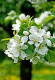 005个苹果开花结构树 库存图片