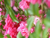 0053PinkRoses Photo stock