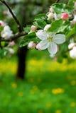 009个苹果开花结构树 库存照片