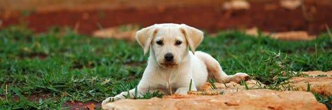 01个实验室小狗 免版税库存照片
