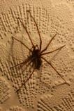 01个房子蜘蛛tegenaria 库存照片