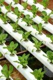 01农业水耕的蔬菜 免版税库存照片
