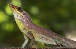 01加勒比蜥蜴多巴哥 免版税库存照片