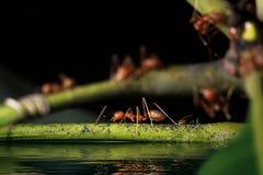 01只蚂蚁 免版税库存照片