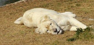 01只雌狮少见白色 免版税库存图片