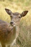 01只鹿獐鹿 库存图片