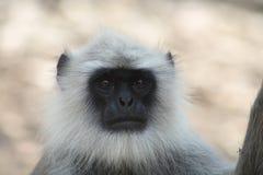 01叶猴 免版税库存照片