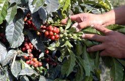 01咖啡危地马拉结构树 免版税库存图片