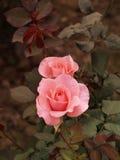 01朵桃红色玫瑰 免版税图库摄影