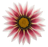01杂色菊属植物 免版税库存照片