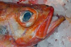 01条红鲷鱼 库存照片