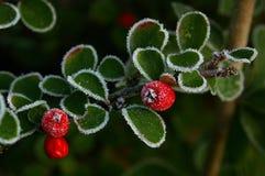 01枸子属植物冰 库存图片
