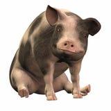 01被察觉的piggie 免版税库存图片
