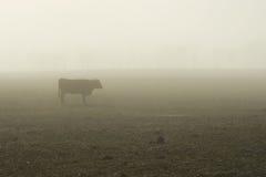 01 βοοειδής ομιχλώδης Στοκ εικόνες με δικαίωμα ελεύθερης χρήσης