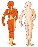 01 мышца иллюстрация вектора