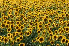 01 солнцецвет Стоковое Изображение RF