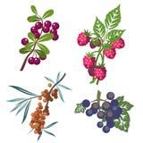 01 установленное berrys Стоковые Фото