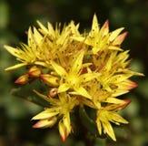 желтый цвет 01 цветка малый Стоковое Изображение RF