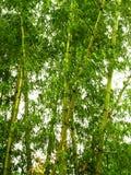 01 bambus Obraz Royalty Free