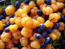 01 blåbärhjortroner Royaltyfria Bilder