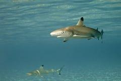 01 blacktip真鲨属melanopterus礁石鲨鱼 库存照片