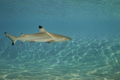 01 blacktip真鲨属melanopterus礁石鲨鱼 免版税库存图片