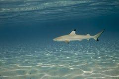 01 blacktip真鲨属melanopterus礁石鲨鱼 库存图片