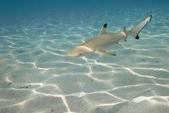 01 blacktip真鲨属melanopterus礁石鲨鱼 免版税库存照片