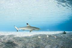 01 blacktip真鲨属melanopterus礁石鲨鱼 图库摄影