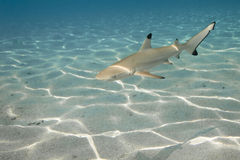 01 blacktip carcharhinus melanopterus rafy rekin Zdjęcie Royalty Free