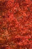 01 boonton槭树 库存照片