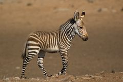01-Cape Mountain Zebra Royalty Free Stock Images