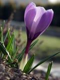 01 crosus紫罗兰 库存照片