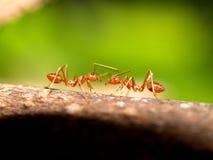 01 czerwone mrówki Zdjęcie Stock