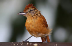 01 fågel karibiska tobago Arkivbild