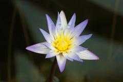 01 fiore lilla 库存照片