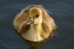01 goose gęgawy minor zdjęcia stock