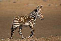 01-kaap de Zebra van de Berg Royalty-vrije Stock Afbeeldingen